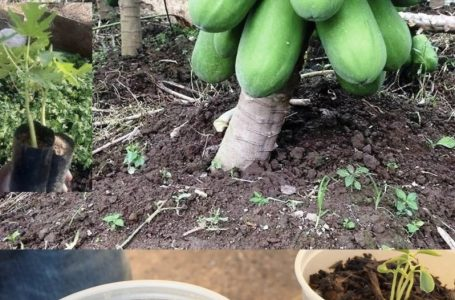 How to make papaya get high yield