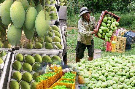Cambodia signed with China to export fresh mangoes to China