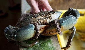 Vietnam earns millions of dollars of crab a month